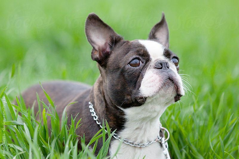 Find out more on fun boston terrier puppies grooming