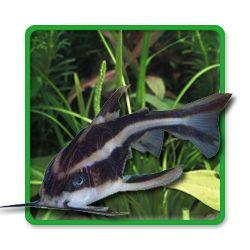 Striped Raphael Catfish Tropical Fish Tanks Catfish Tropical Fish