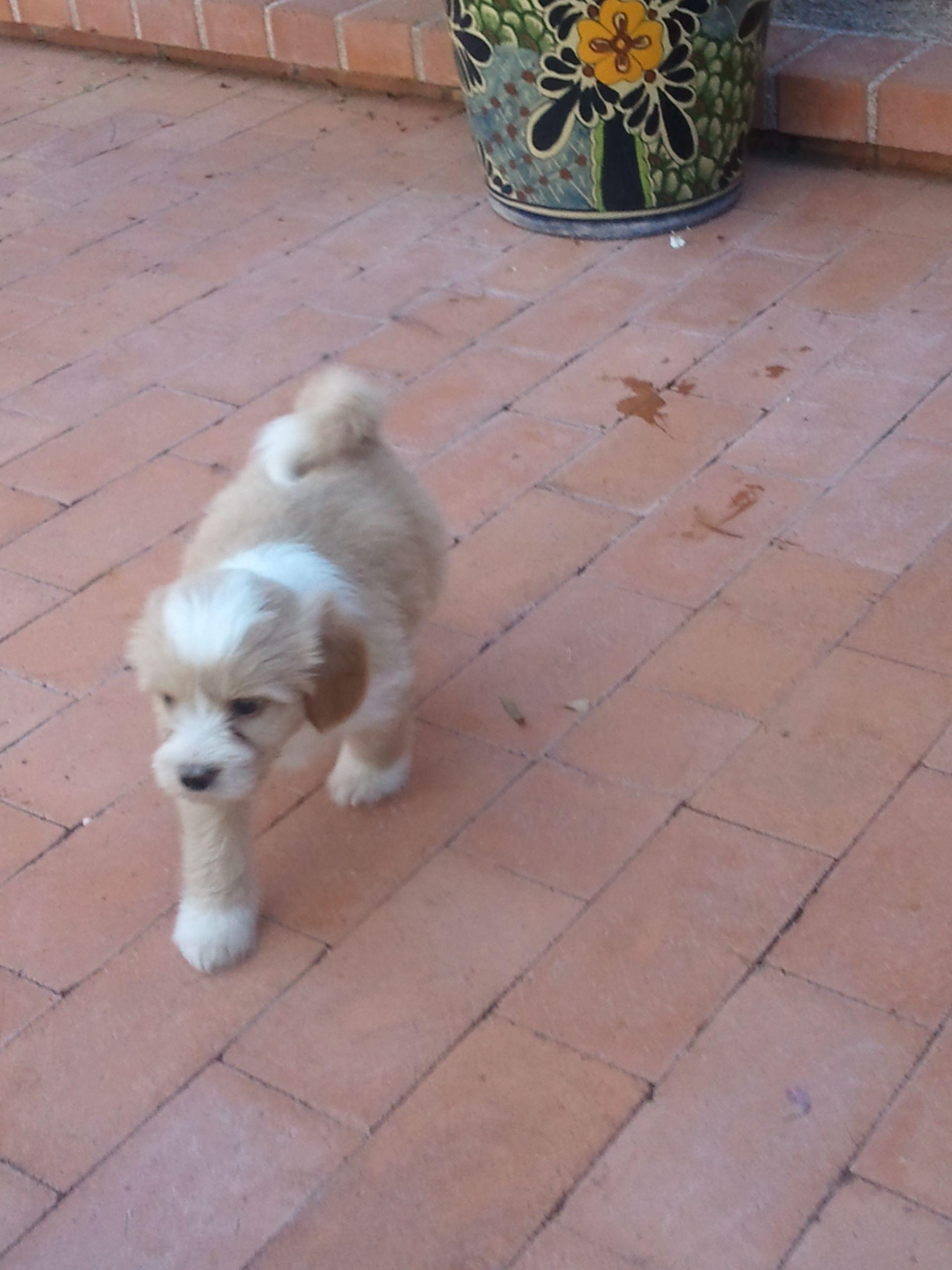 Gold And White Tibetan Terrier Tibetan Terrier Terrier Pets