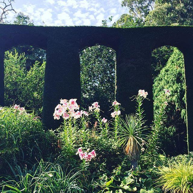 #spanishgarden #mountstewart garden #voluptuous pink #lilies against velvet tightly clipped #cypress