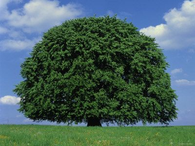 beech tree | Beech Tree: Pictures, Photos, Images, Facts on Beech ...