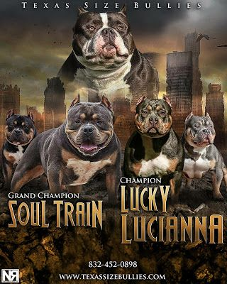 Spring 2015 Breeding Grch Soul Train X Ch Lucky Lucianna