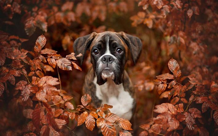 Download Wallpapers Boxer Dog Autumn Puppy Pets Cute Animals Dogs Boxer Cutepuppyforwallpaper Boxer Dogs Boxer Dogs Funny Cute Animals