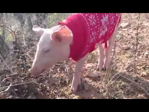 Bebé cerdo prueba uvas por primera vez (subt. Español, English/Deutsch)