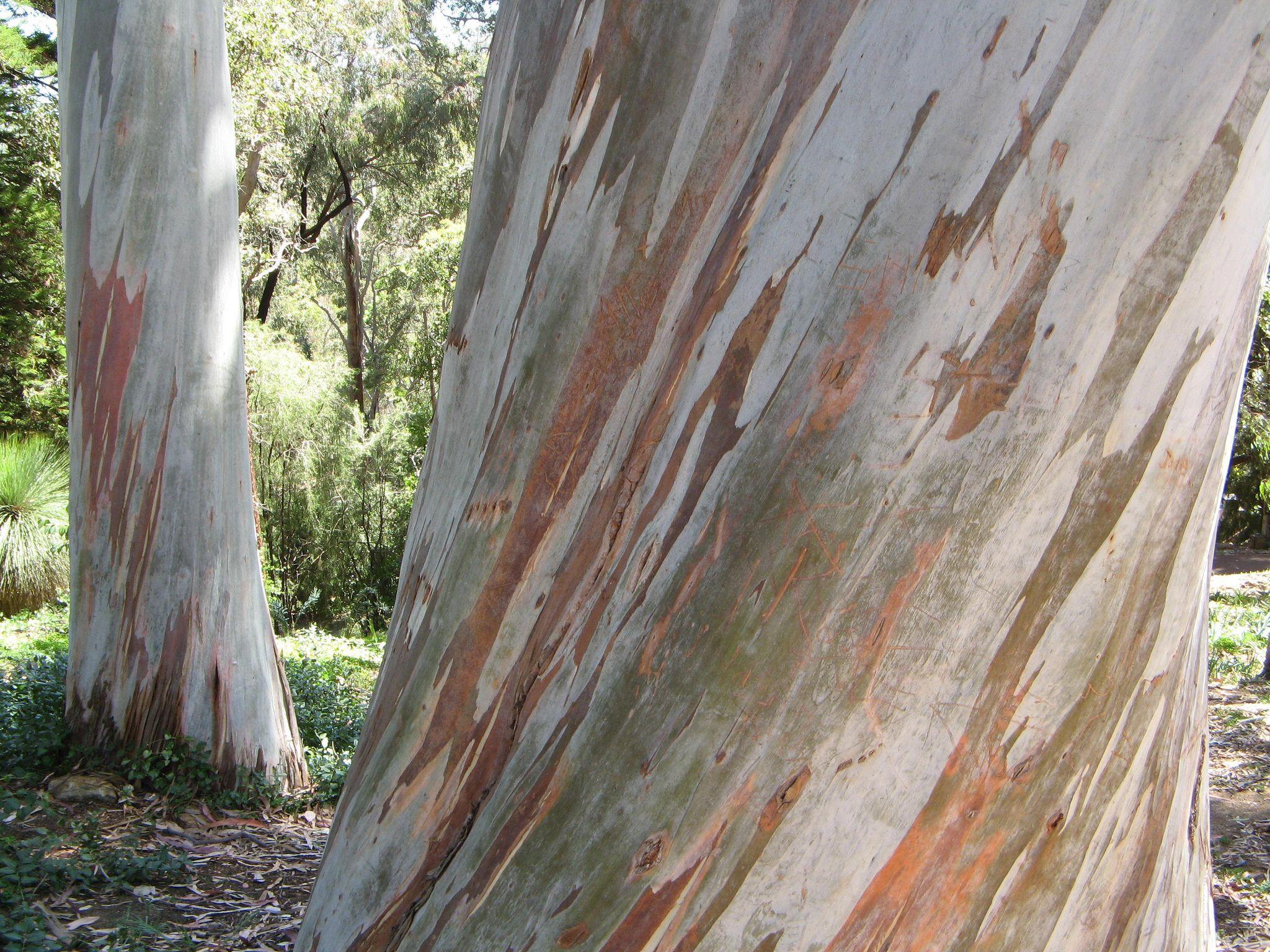 Gum tree bark Tree bark, Wood, Hardwood floors