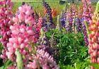 Lupine Samen bunt Garten & Terrasse #kletterpflanzenwinterhart