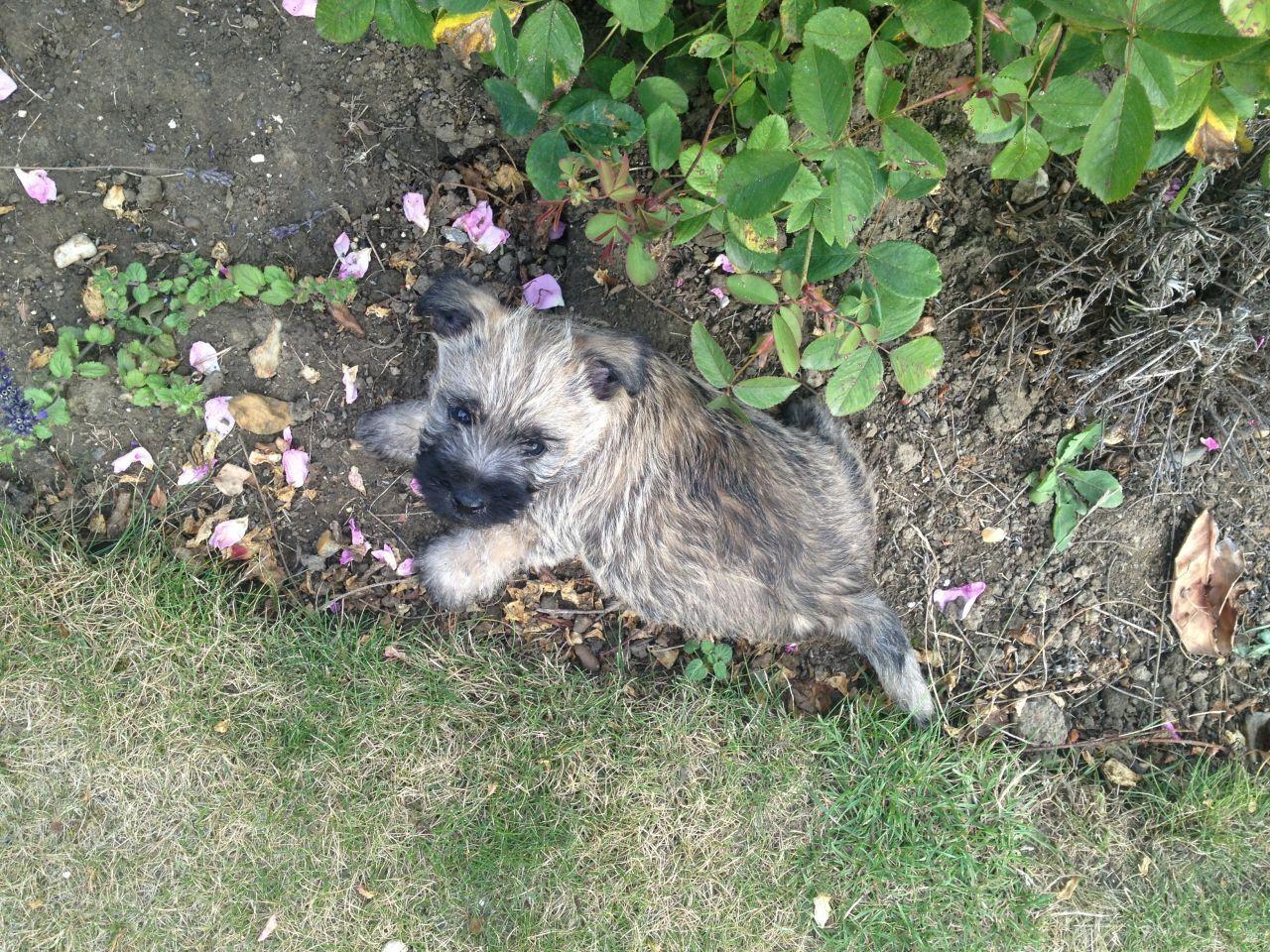 Cairn Terrier Rescue Virginia Last Puppy Kc Reg Cairn Terrier For