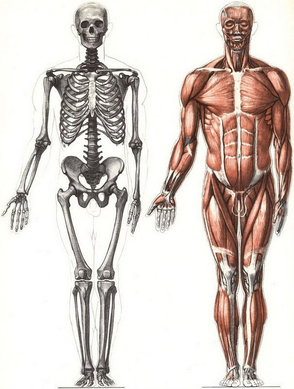 Classic skeleton and musculature from Bammes. Der Nackte Mench ...