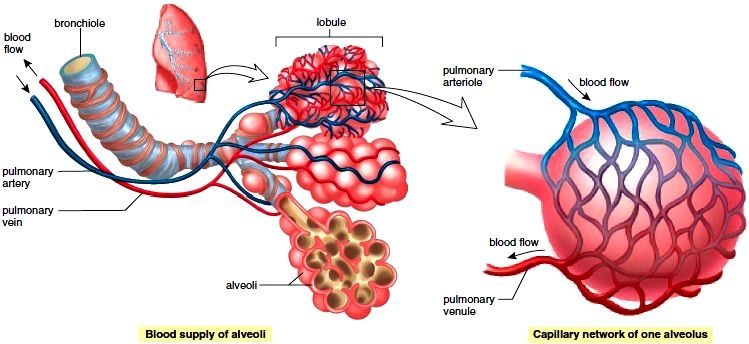Gas exchange in the lungs The lungs consist of portions of the