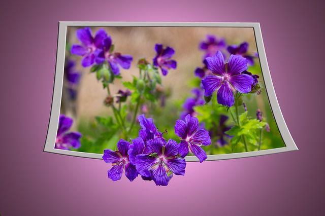 Cranesbill, Flower, Purple, Blossom, Bloom, Flora