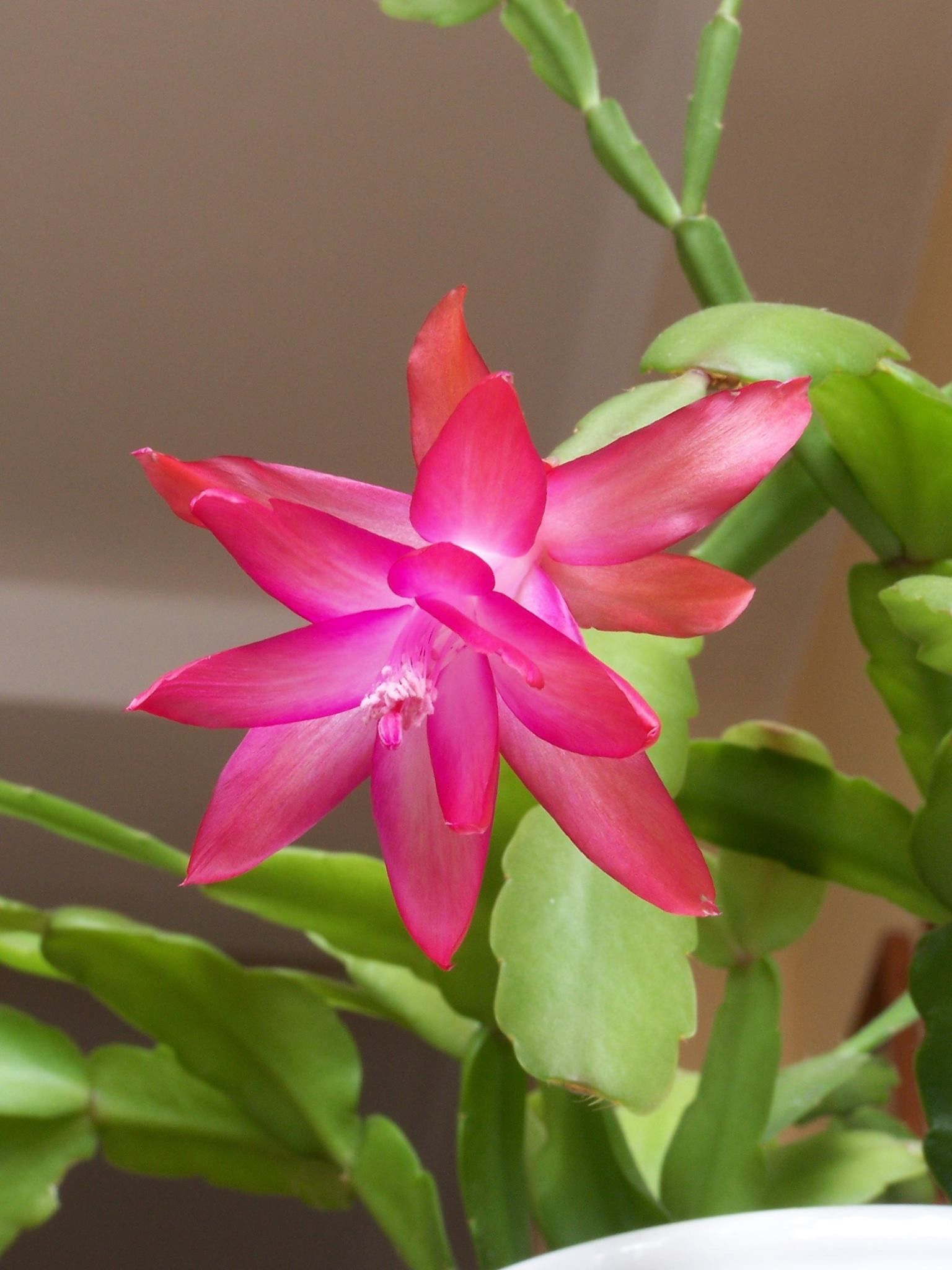 Cactus De Navidad