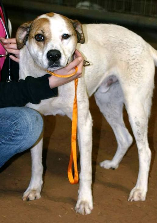 Long Legged Mostly Cream White Dog Male With Brown Tan Patch Over Right Eye Brown Ears Brown Spot On Top Of Head Too Waitin White Dogs Long Legs Losing A Pet