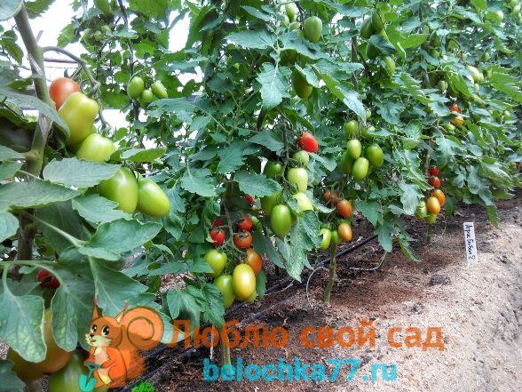 какие томаты для теплицы из поликарбоната