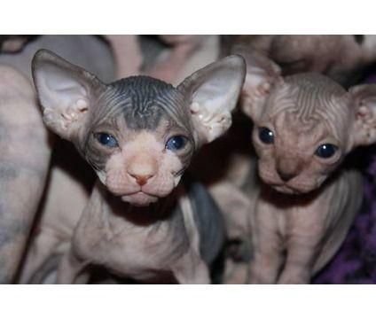 Sphynx Elf Kittens Kitten Adoption Cats And Kittens Kittens