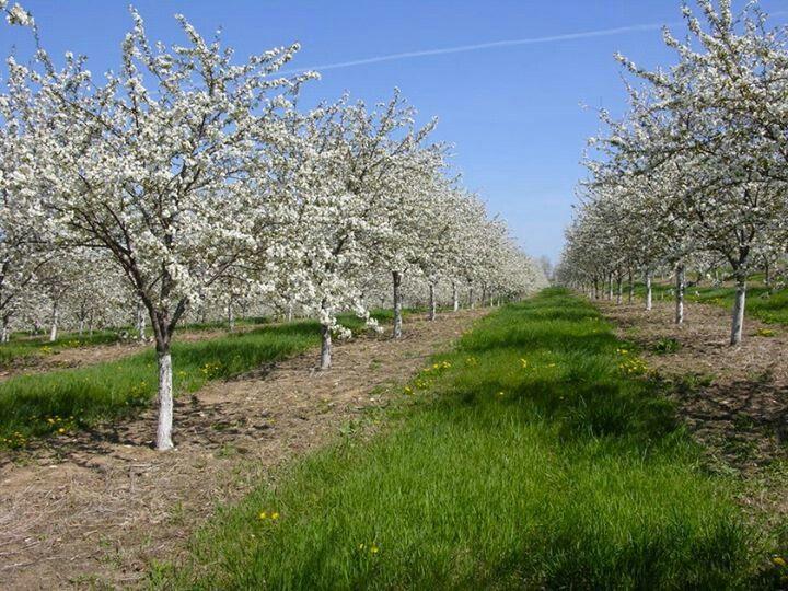 Cherry Trees Door County Wi Door County Wisconsin Door County Wi Wisconsin Green Bay