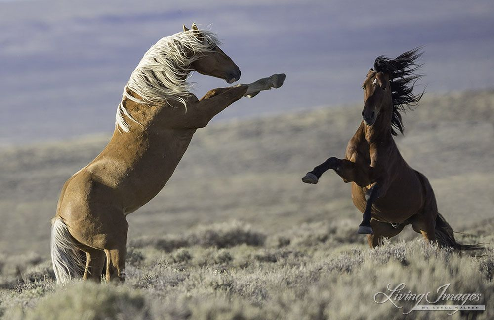 Two stallions face off. Wild Horses: Please Comment on BLM's Disastrous Plans to Study and Spay White Mountain Mares