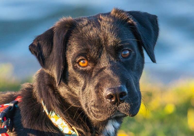 Adopt Brandy On Dogs Labrador Retriever Pets