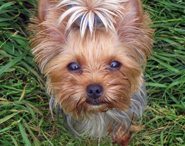 Yorkie Temperament Love 4 Dogs Pinterest Yorkshire Terrier