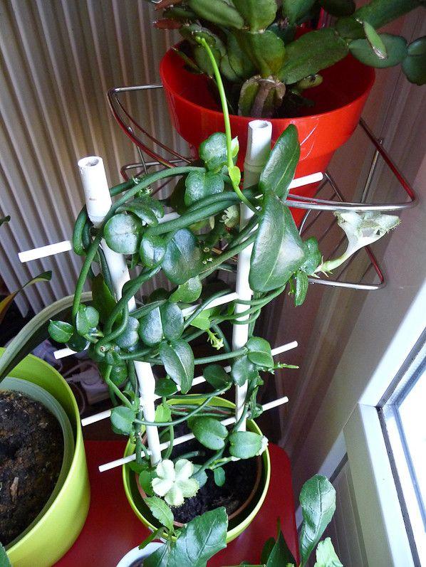 plante grasse grimpante