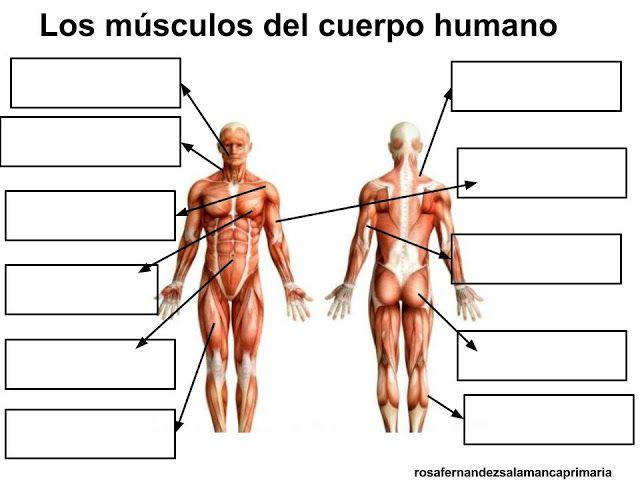 Moderno El Aprendizaje De Los Músculos Del Cuerpo Humano Ornamento ...
