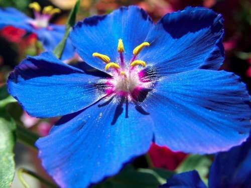 blue pimpernel anagallis morrião azul flores azuis sementes