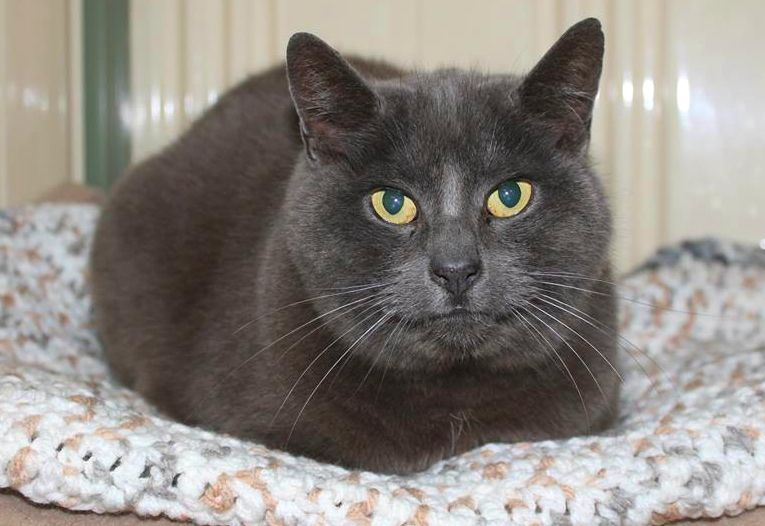 Meet Blue Haven This Boy Is A Chilled Out Cat Who Starts Out A Little Shy But Before Too Long Becomes Very Curious And Th Cat Adoption Litter Training Cats