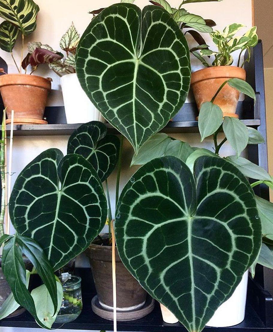 anthurium clarinervium   green   pinterest   pflanzen, garten