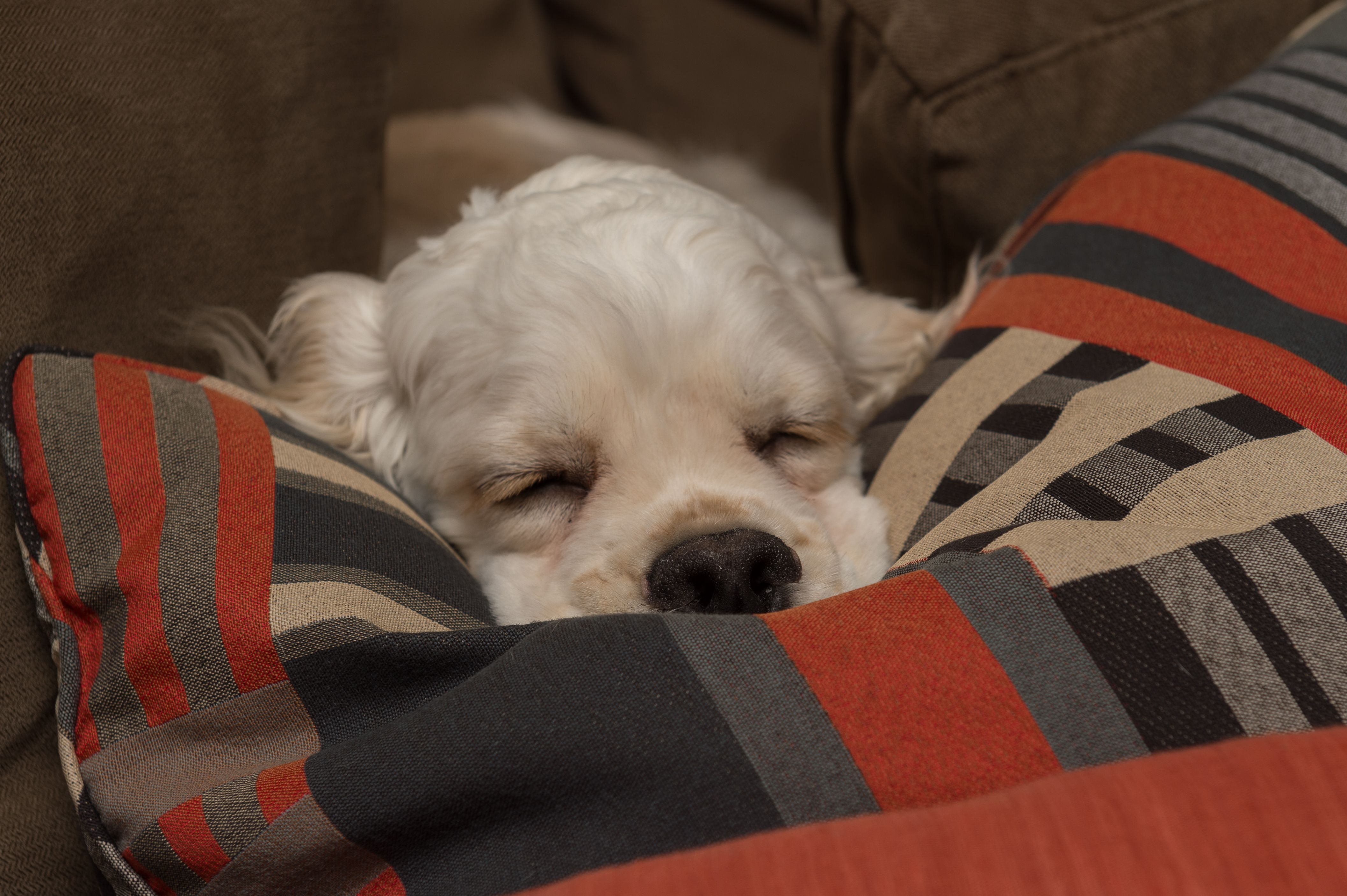 Sweet Dreams Are Made of This - Gus the Silver American Cocker Spaniel Puppy! - www.silvergus.com