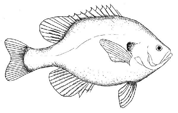 how to draw a bluegill fish