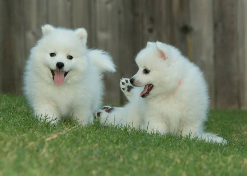 Ok y'all.  Japanese Spitzes are the BEST and the CUTEST dogs ever.  Have you ever seen anything cuter than these puppies?