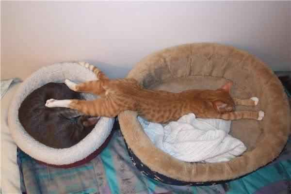 This cat who couldn't remember which bed he wanted to sleep in. | 19 Cats That Partied Way Too Hard This Weekend