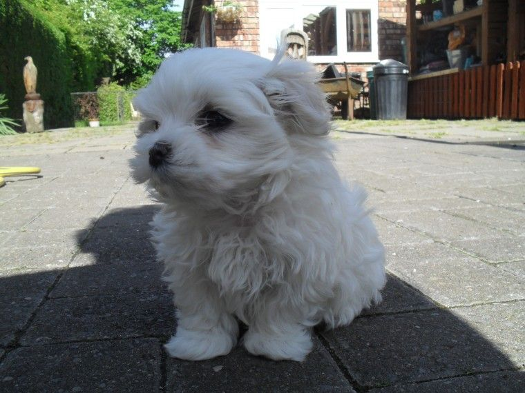 Maltese Girl Puppy Forsale Adopt Dogs Pets Newhome Calgary