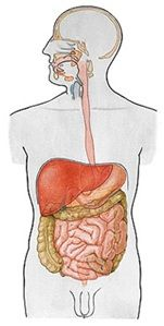 Morfologia - Sistema Digestório