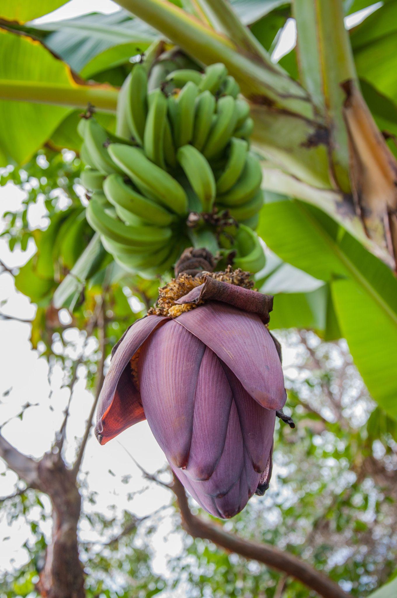 Banana flower by Elena Ivanova