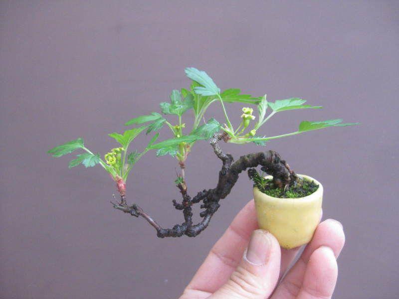 盆栽:トキワサンザシの画像 | 春嘉の盆栽工房