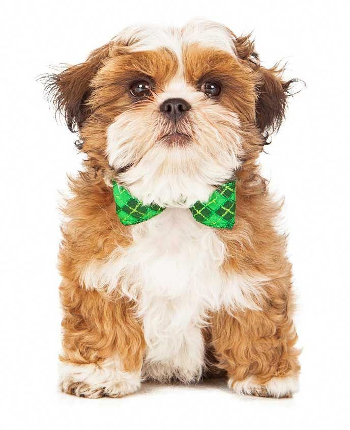 The Traits We All Adore About The Funny Havanese Pup
