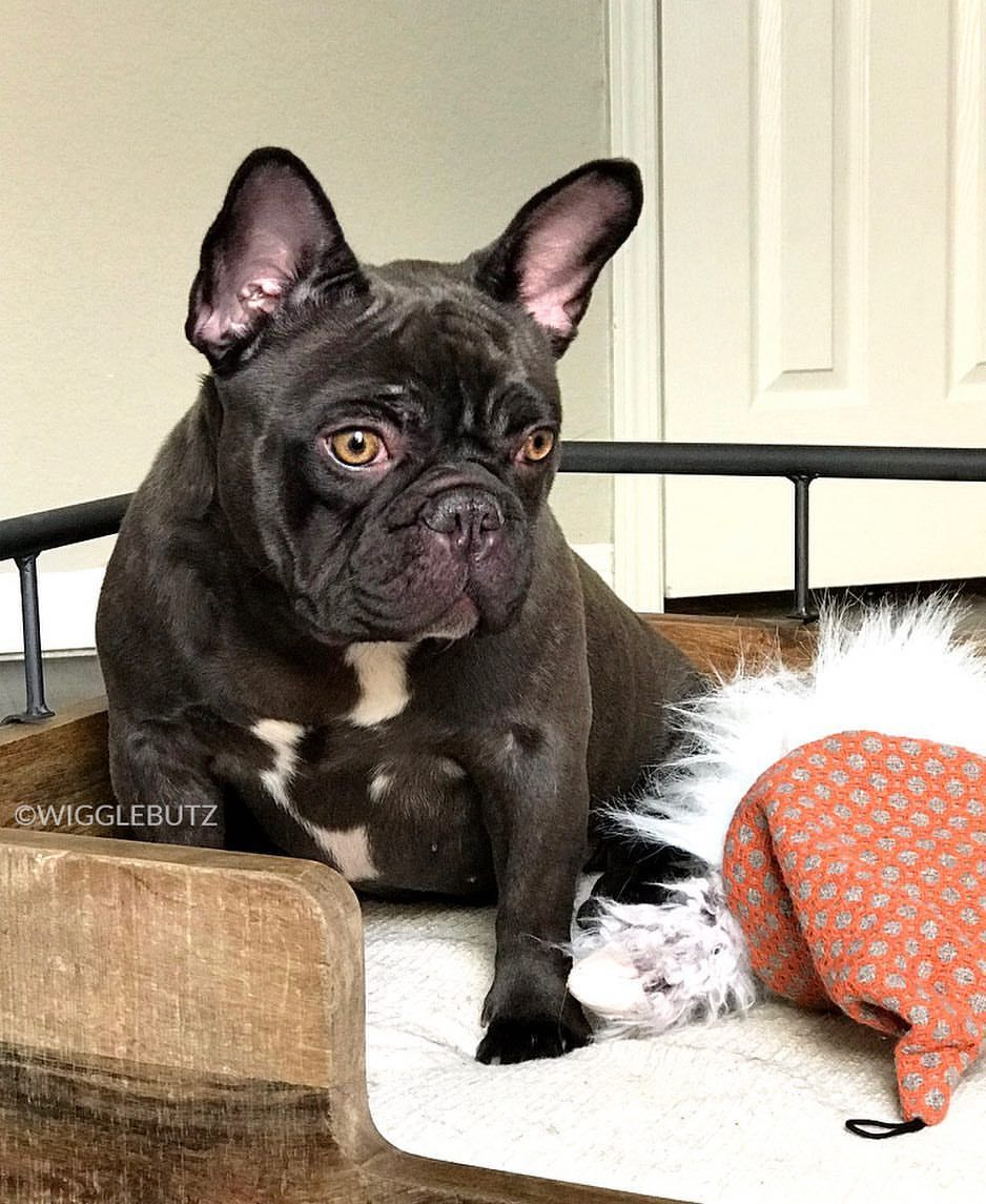 Pout Chocolate French Bulldog With Striking Gold Eyes Coming