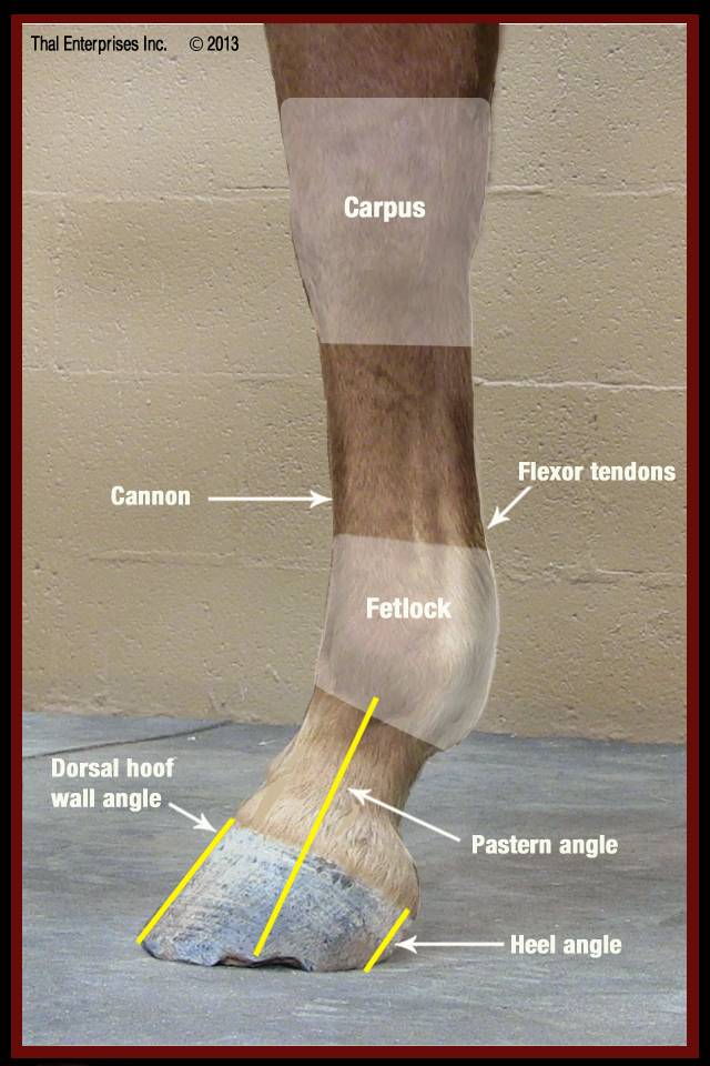 Lower Front LImb Side View no 1 | EQUINE | Pinterest | Caballos ...