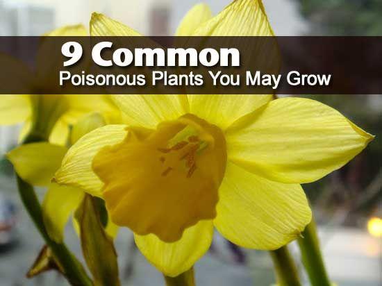 9 Common Poisonous Plants You May Grow Poisonous Plants Plants Lantana Plant