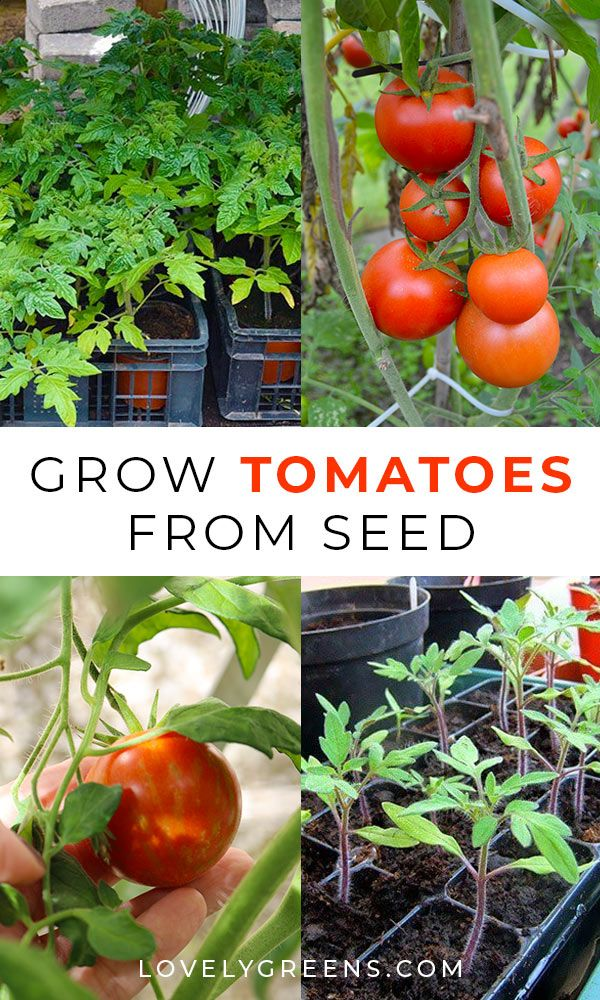 Photo of Growing Tomatoes from Seed: Sowing times, compost, and instructions