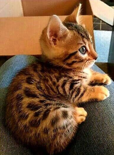 Photo of Ces chatons Bengal sont adorables