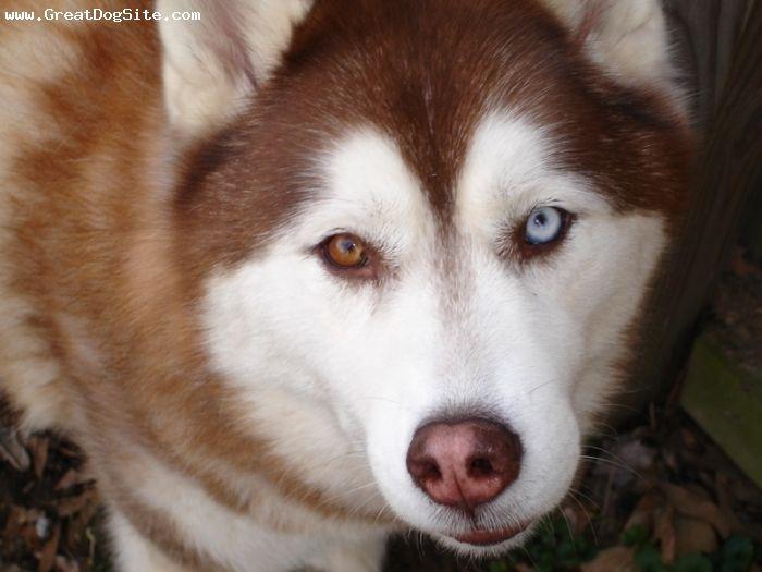 Siberian Husky Red Blue Eyed Dog This Reminds Me Of Mya She