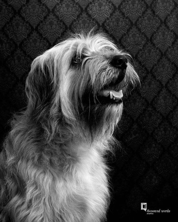 Morrison My Baby Wheaten Terrier Golden Retriever Mix