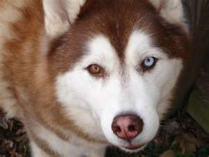 siberian husky with one blue and one brown eye