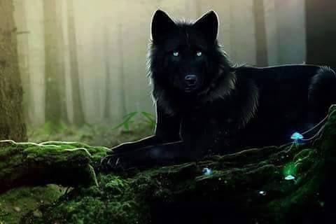 Schwarzer Wolf Im Wald Schwarzer Wolf Wolf Hybrid Wolf