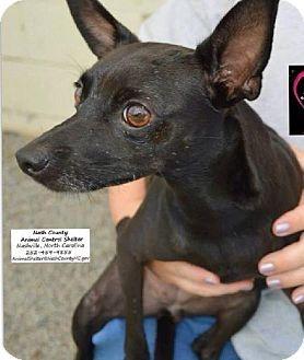 Holly Springs, NC Chihuahua/Feist Mix. Meet Beka, a dog