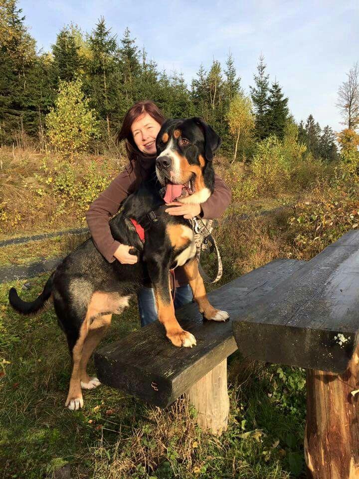 Greater Swiss Mountain Dog Mit Bildern Hunderassen Sennenhund