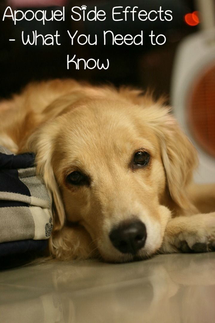 Apoquel Side Effects In Dogs Pet Dogs Dogs Pets