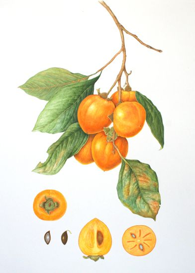 diospyros 39 kaki 39 parthenocarpic produce unpollinated fruit that is seedless when pollinated
