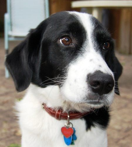 Border Collie Mix What My Puppy Oliver Will Look Like In The